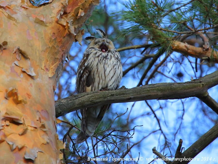 ушастая сова зевает фото