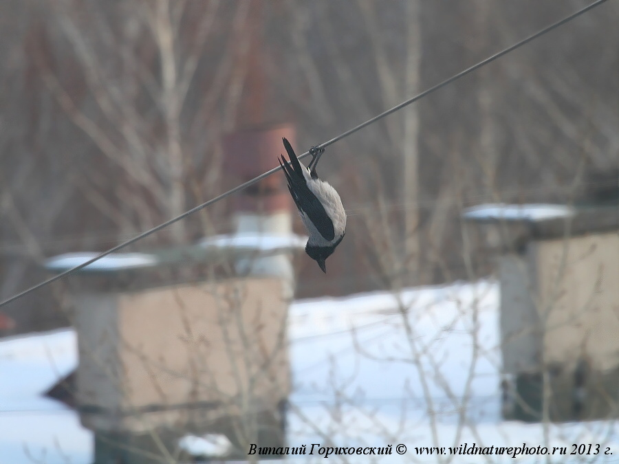прикольная ворона