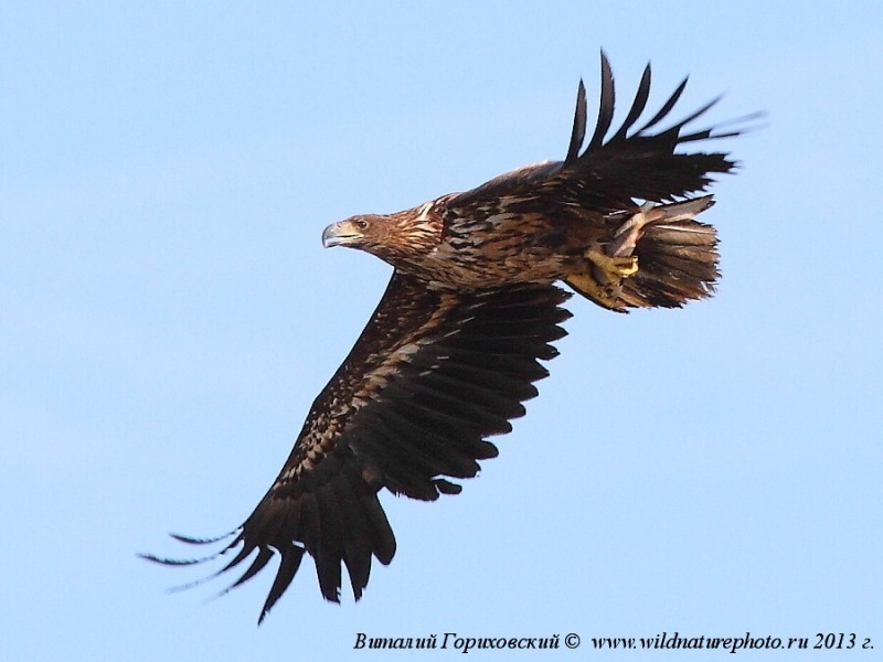 орлан белохвост, фото Гориховского ВГ,