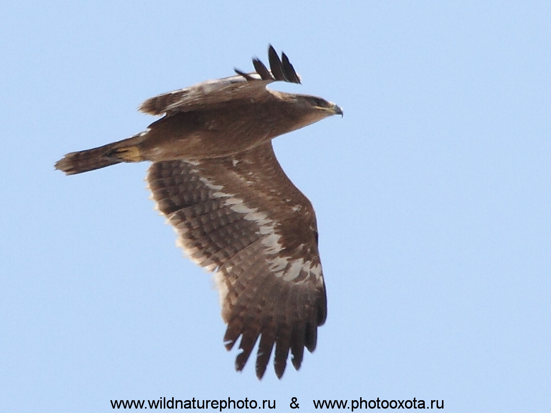 степной орел,  Aquila nipalensis russian steppe eagle