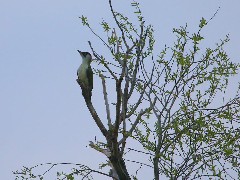 зеленый дятел фото