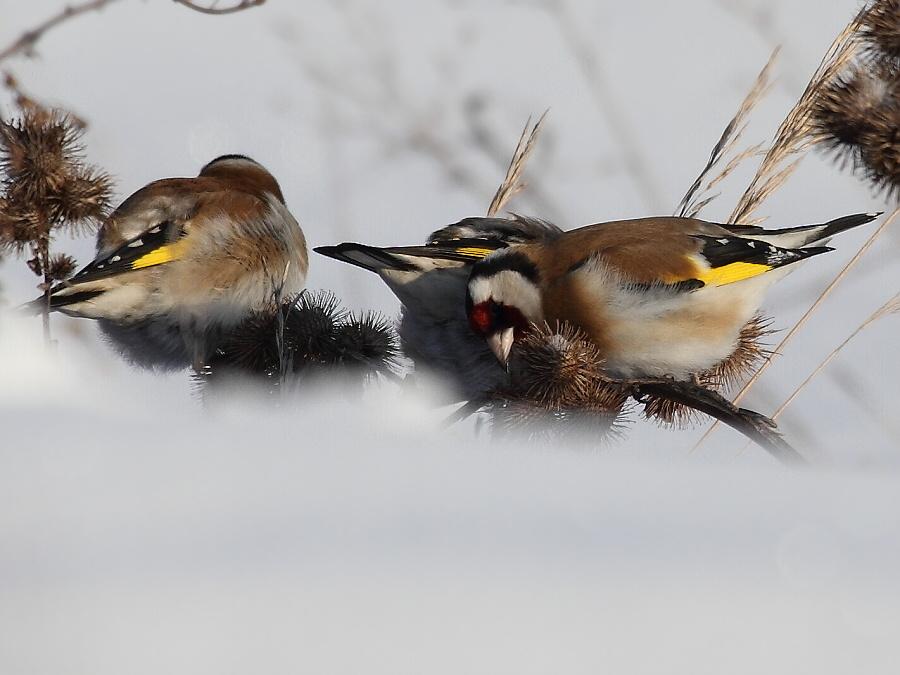 щеглы, зимующие птицы Чувашии