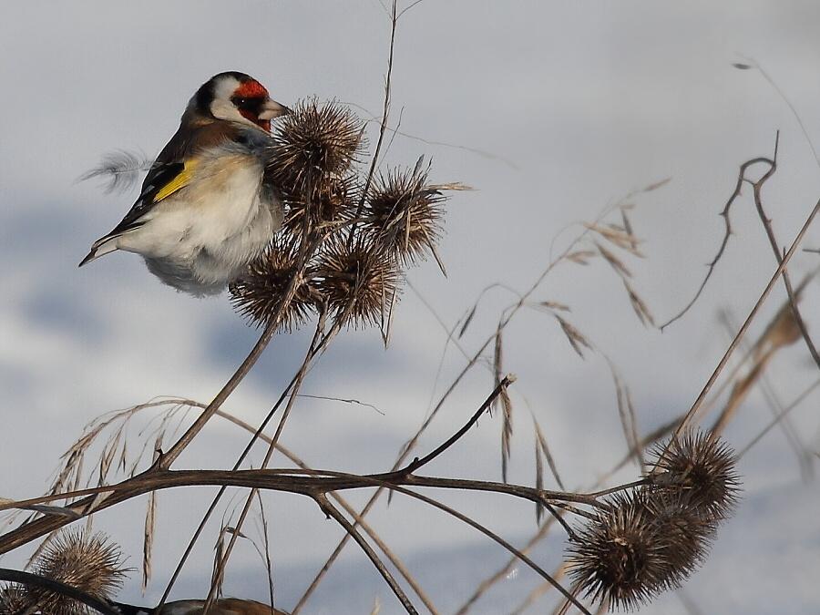 щегол, зимующие птицы Чувашии