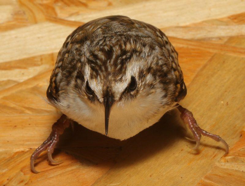 пищуха птица фото
