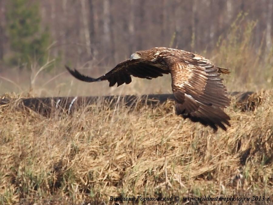 орлан белохвост, фото