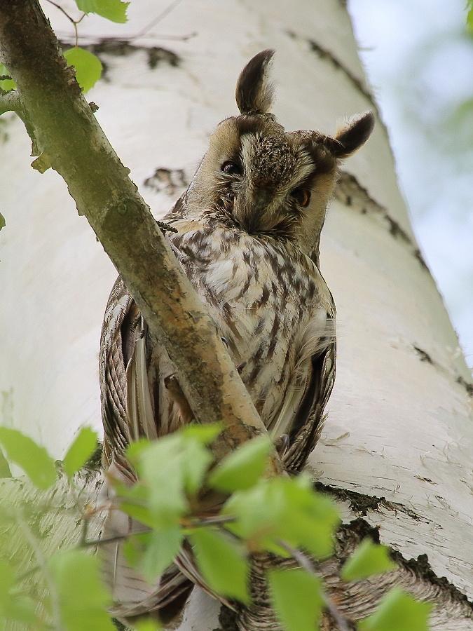 Ушастая сова, фотоохота, птицы Чувашии, Новочебоксарск, Гориховский, дикая природа вокруг нас, фотоблог,
