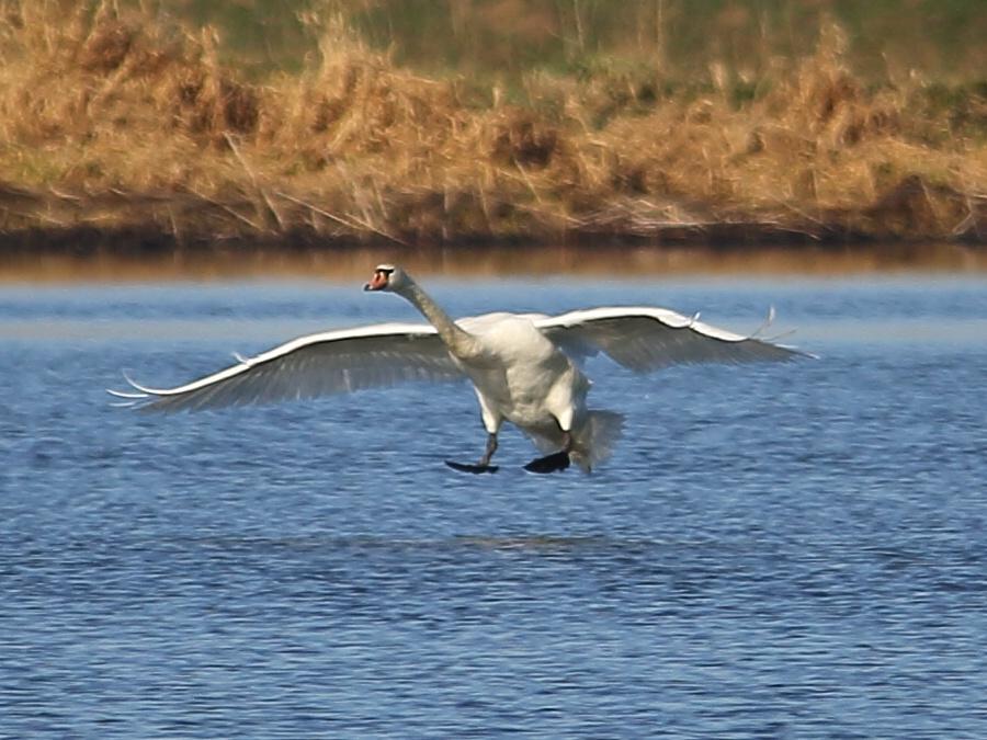 белый лебедь фото