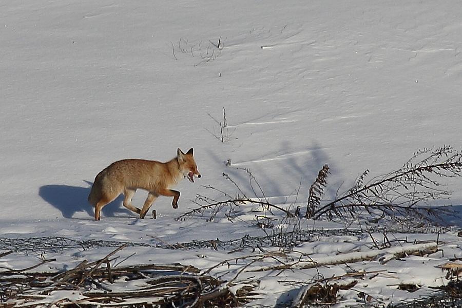 лисы в Чувашии
