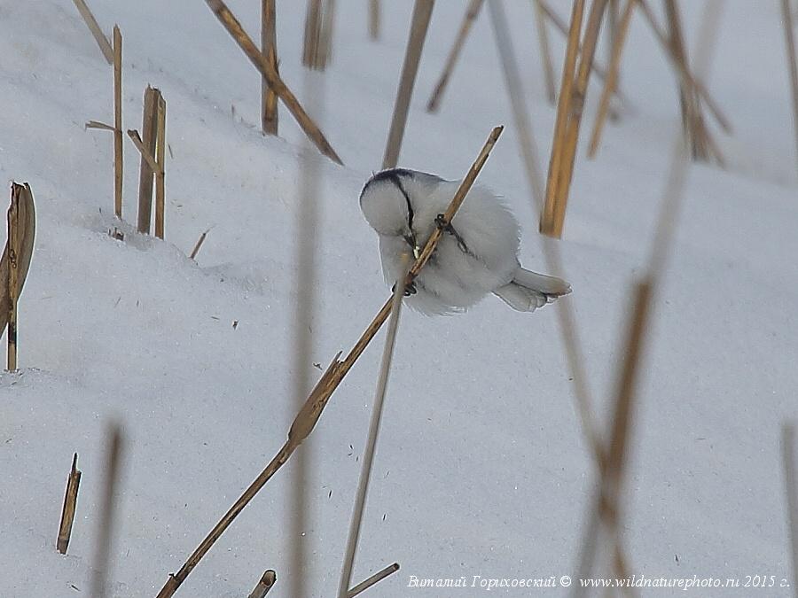 Князек, белая лазоревка